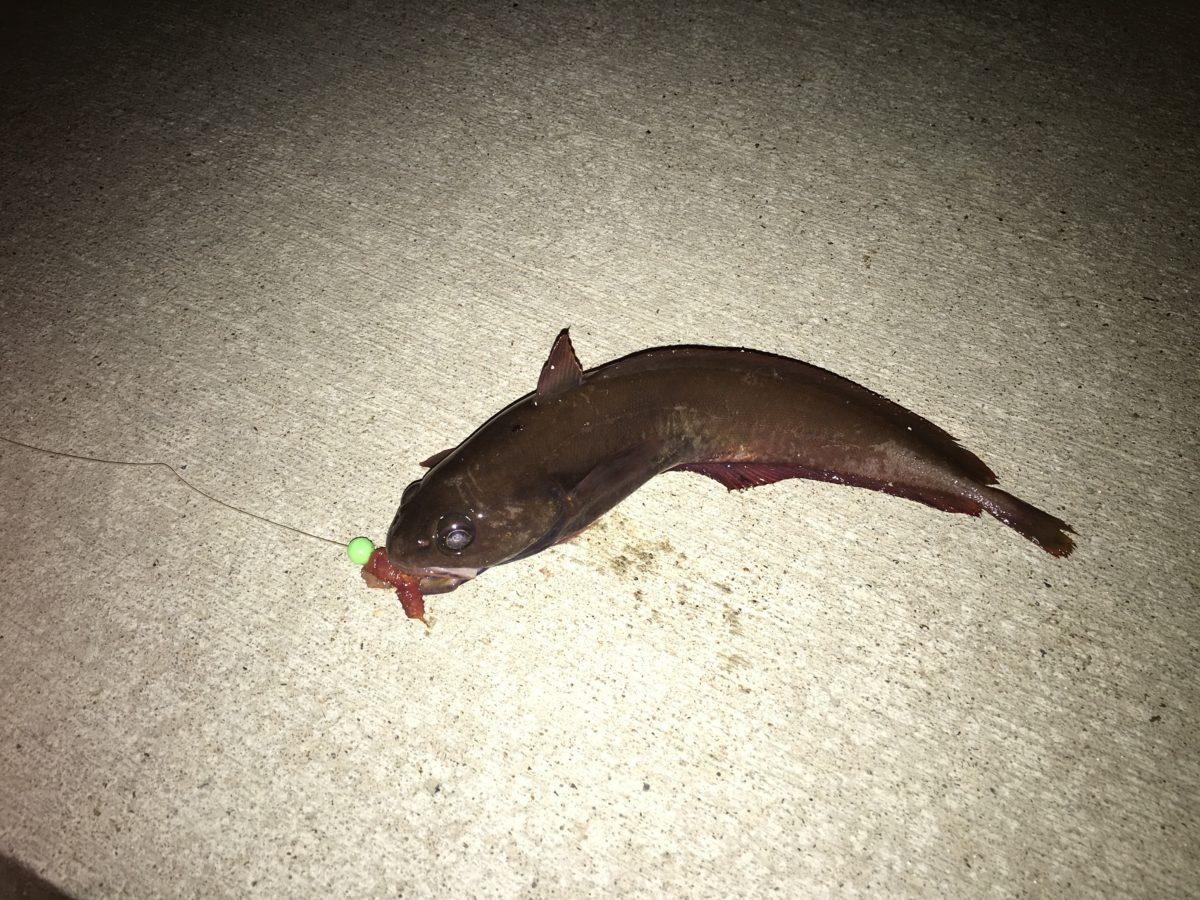 折浜の夜釣り、今期初のドンコ!